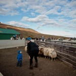 Sheep roundup in Iceland